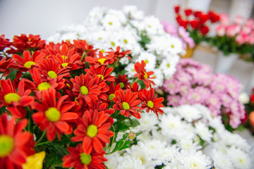 chrysanthemums. chrysanthemums in a pot