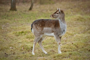 Picture of young fallow deer in winter coat grazing on pasture looking behind with green and brown background