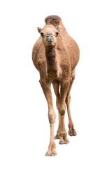Arabian camel isolated on white background