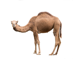 Foto op Canvas Kameel Arabian camel isolated on white background