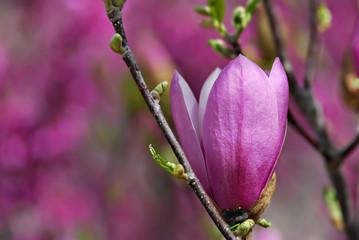 """Pinkie"" magnolia blossom."