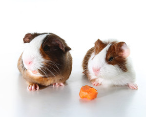 Dutch guinea pig on studio white background. Isolated white pet photo. Sheltie peruvian pigs with symmetric pattern. Domestic guinea pig Cavia porcellus or cavy, is a species of rodent belonging to