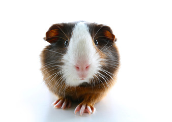 Isolated white pet photo. Sheltie peruvian pigs with symmetric pattern. Domestic guinea pig Cavia porcellus or cavy, is a species of rodent belonging to the family Caviidae and the genus