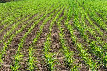 green corn fields
