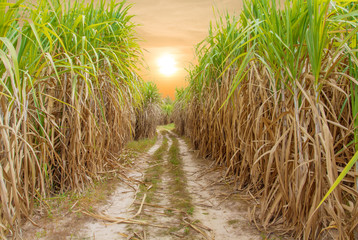 Sugar cane field with sunrise or sunset background
