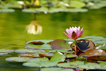 Pink waterlily on a beautiful green pool with a reflecting yellow waterlily.