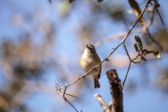 White-eyed vireo bird Vireo griseus