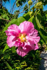 tropische Blume pink