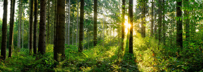 Fototapete - Panorama of a forest at sunrise