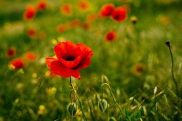 a few small poppy shoots in a green field