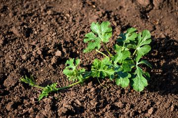 organic watermelon plant on the field