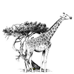 a giraffe standing near a tree sketch vector graphics monochrome drawing