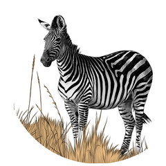 Zebra standing in the dry grass sketch vector graphics color picture