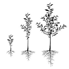 Seedling cherry trees with roots set