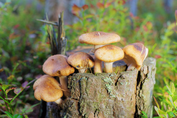honey agaric on a stump