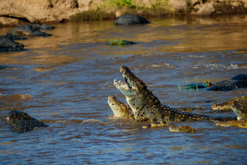 Big Crocodiles eating a zebra during the wildebeest migration in Masai Mara, Kenya