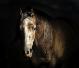 Portrait of horse face at dark background.  Looks at the camera