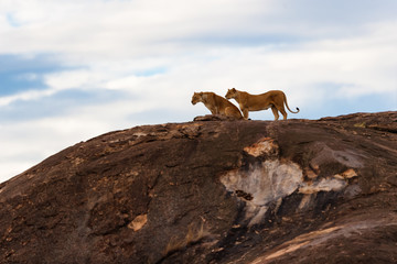 Wall Mural - Two Lions waiting of sunrise on the Sand River stones in Masai Mara, Kenya