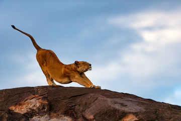 Wall Mural - Lion female streching on the stones of Sand River in Masai Mara, Kenya