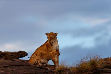 Wall Mural - Lion female with cub on Sandriver Stones in Masai Mara, Kenya