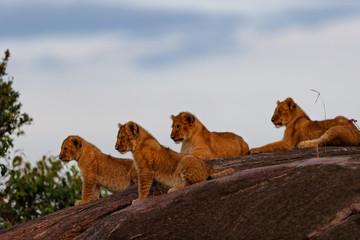 Wall Mural - Lion cubs on Sand River Stones in Masai Mara, Kenya