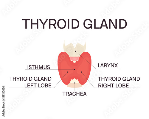 Thyroid Gland And Trachea Front View On White Background Human Body