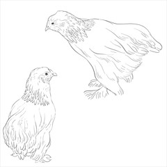 vector sketch of chickens