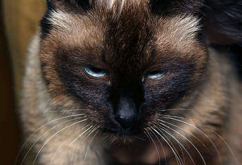 cat with a disgruntled face