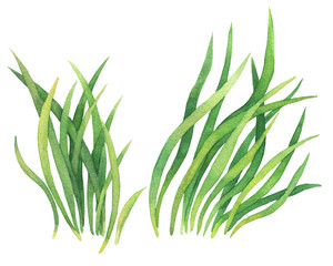 Fresh spring green grass. Watercolor hand drawn painting illustration isolated on a white background. Summer natural grassy element for design, nature landscape. Organic, bio, eco label and shape.