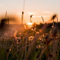 The Urals landscape. Russia landscape. Rare beautiful flowers.Dandelions