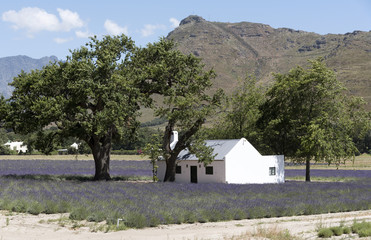 Franschhoek, Western Cape South Africa, December 2017. Small cottage set in a lavender farm