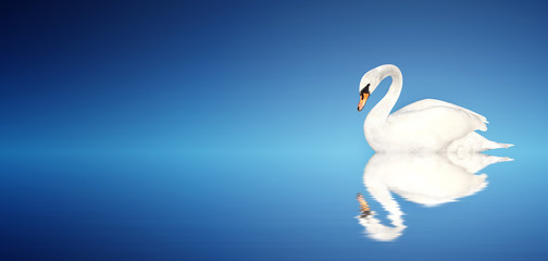 Mute swan on blue background