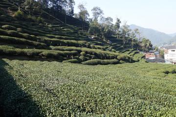Green Chinese Longjing tea plantation