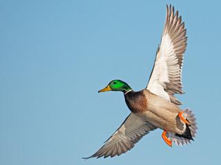 Male Mallard Duck in Flight