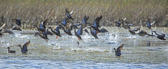 Cape shoveller ducks taking off