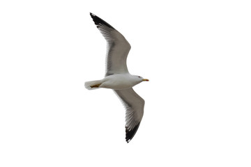 Isolated gull (Laridae) with wings outstretched