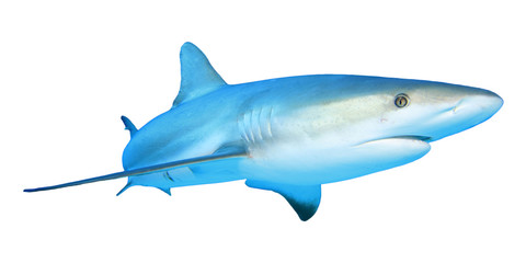 Shark isolated white background
