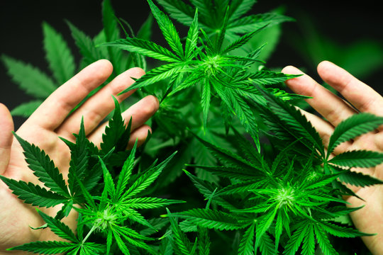 A large number of cannabis flowers in the hands of a man