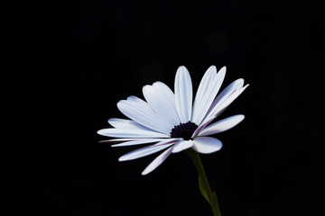 Side view of white daisy on black background, stem visible