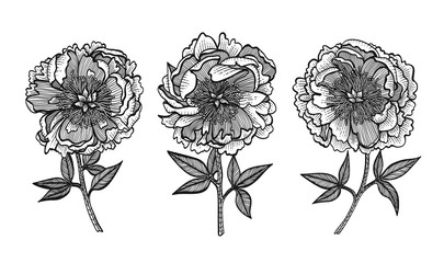 Hand-drawing peonies. Vector graphic flowers. Design elements for invitations, wedding greeting cards, wrapping paper, cosmetic or food products.