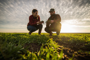 Young farmers examing planted young wheat during winter season