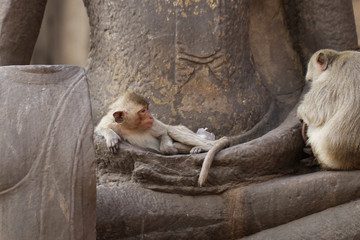 Children Monkey sitting sleeping on ancient Buddha hand statue, Candid animal wildlife picture waiting for food, group of mammal on historical travel destination in Asia, home decoration wallpaper