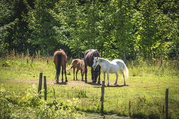 Horses on a meadow in the summer