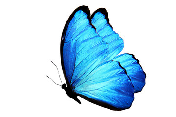 синяя бабочка изолированная на белом фоне