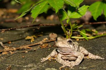 Northern Gray Tree Frog