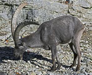 Alpine ibex. Latin name - Capra ibex