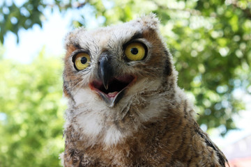 Funny young great horned owl so clear you can see the tongue in his open mouth