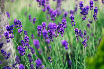 Picture of lavender flowers on field at sunlight
