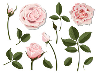 A set of flower parts. Inflorescence, bud and leaf of a pink rose. Vector, detailed, realistic illustration, isolated. Elements for floral design of greeting card and bouquet.