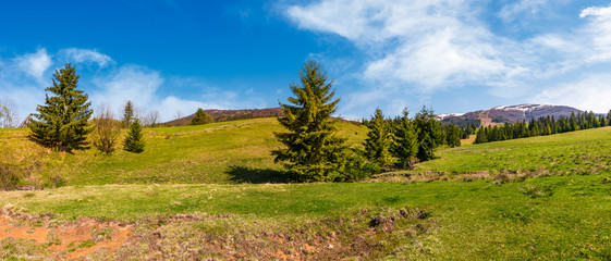 panorama of spruce forest on grassy hills. beautiful landscape of Carpathian mountains in springtime. location - valley of Pylypets village, Ukraine